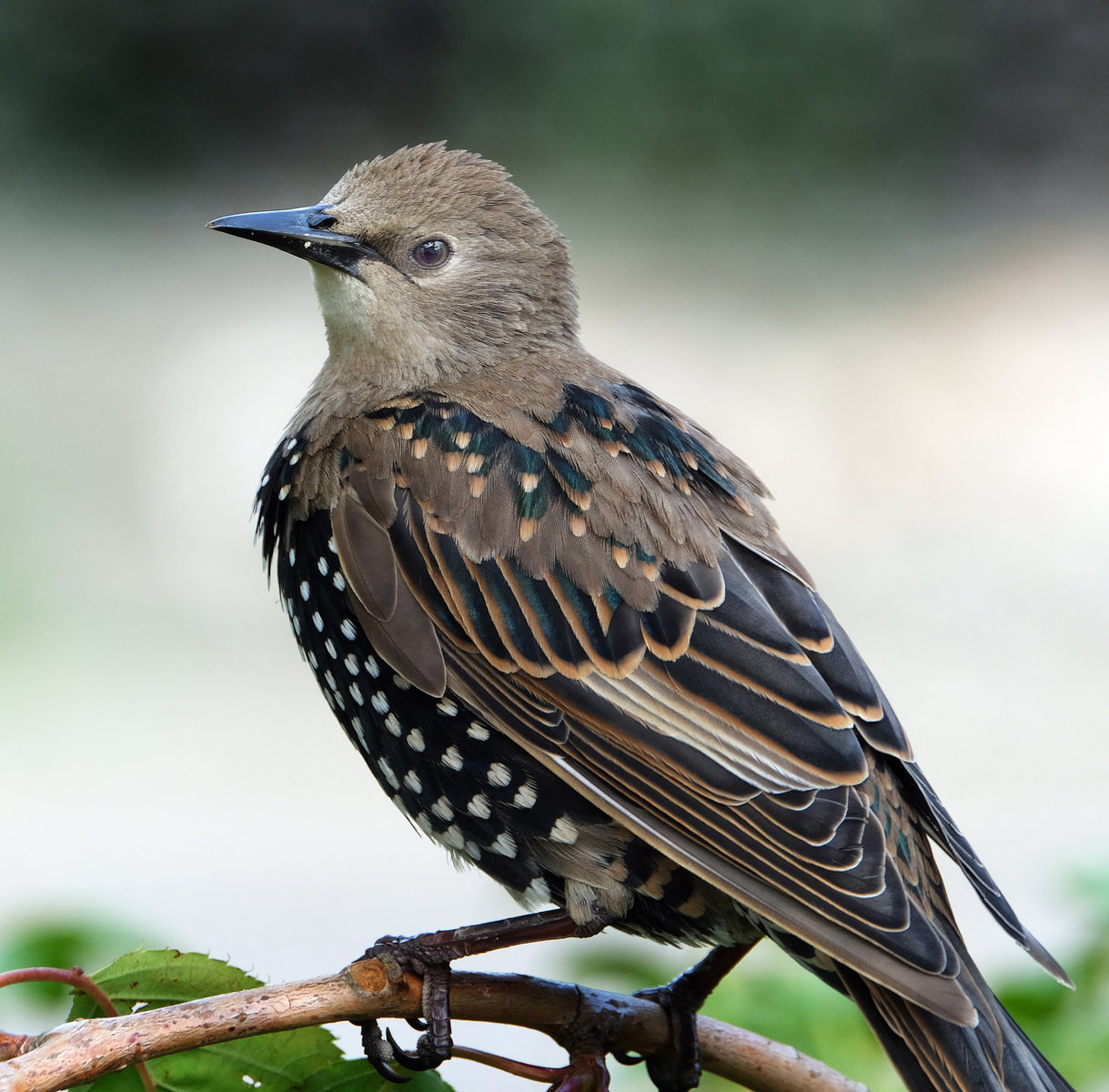 Young Starling.
